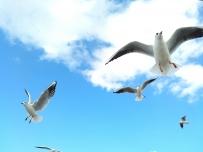 滇池红嘴鸥